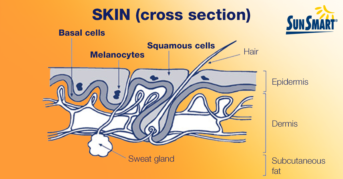 Cross section of the skin showing basal cells, melanocytes, squamous cells, hair and sweat glands in the epidermis, dermis and subcutaneous fat